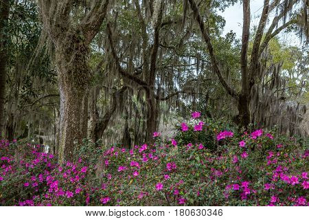Azalea bushes and Live Oak trees filled with Spanish Moss line a gravel road in Savannah Georgia.