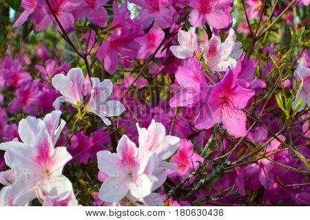 Springtime, two tone azaleas, Lovely flowers, Natures gift.