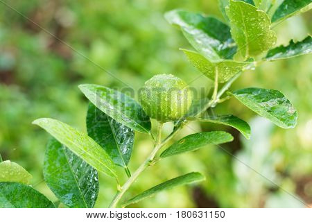 Fresh Lime tree with fruits, Fresh lime green lime leaves