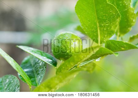 Fresh Lime tree with fruits, Fresh lime leaves on branch background, green lime leaves