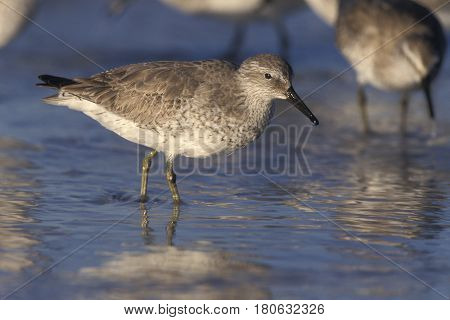 A Red Knot sandpiper, Calidris canutus in winter plumage looking for food in shallow water