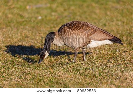 Adult Canada Goose (branta canadensis) eating in a field