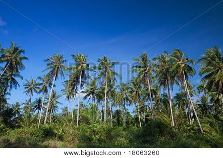 Tall coconut palm trees lined a coastal terrain in a tropical island.