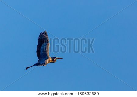 Great Blue Heron (Ardea herodias) flying during the spring migration in Wisconsin.