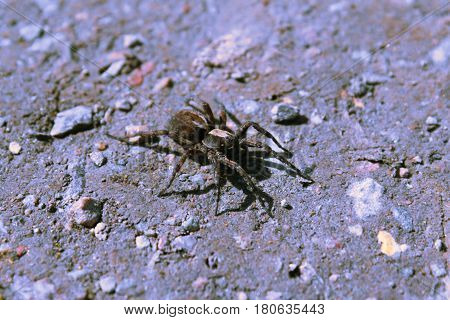 Alopecosa Is A Wolf Spider Species In The Genus Alopecosa With A Palearctic Distribution. It Was Des