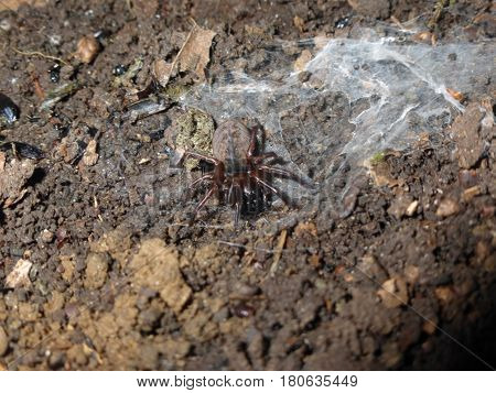 Amaurobius Similis Is A Species Of Spider In The Family Amaurobiidae. It Is One Of At Least Two Comm