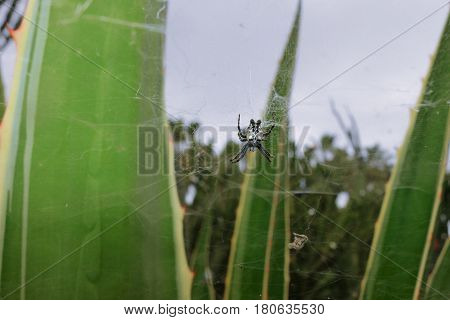Cyrtophora Citricola, Also Known As The Tropical Tent-web Spider, Is An Araneid Spider That Occurs I