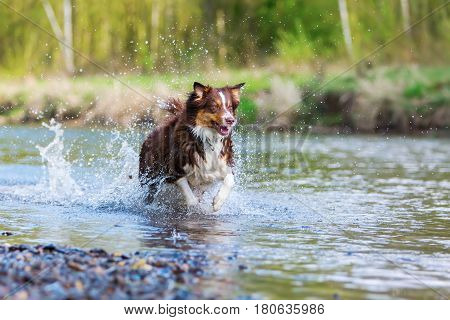 Australian Shepherd Dog Running In A River