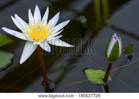 Purple lotus flower blooming in pond at garden