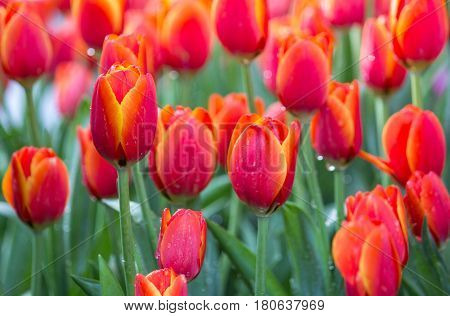 Red Tulip Flower Fields Blooming In The Garden