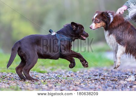 Labrador Puppy Wants To Play With An Australian Shepherd