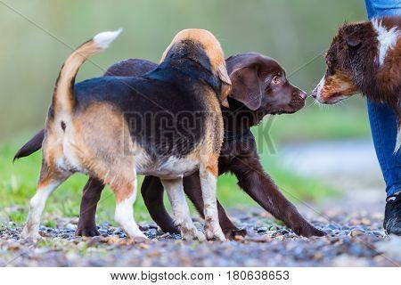 meeting of a Beagle a Labrador puppy and an Australian Shepherd dog outdoors