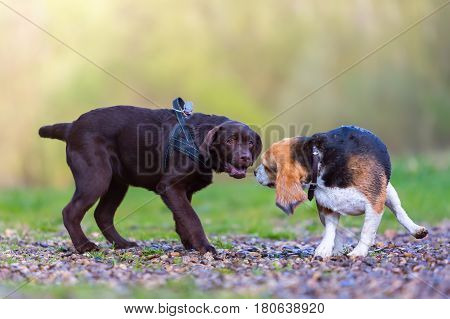 Beagle Plays With A Labrador Puppy