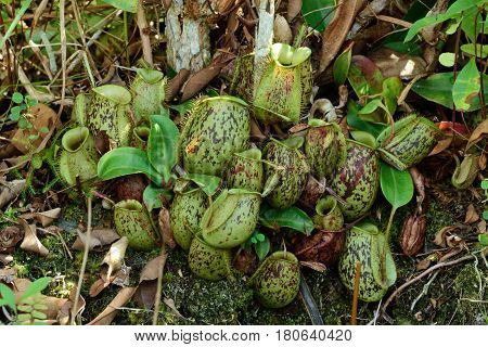 Nepenthes, a native of Southeast Asia and Australia, forms pitchers (cups) that hang from trees.