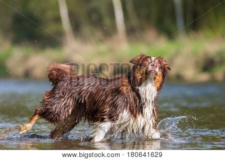 Australian Shepherd Dog In A River