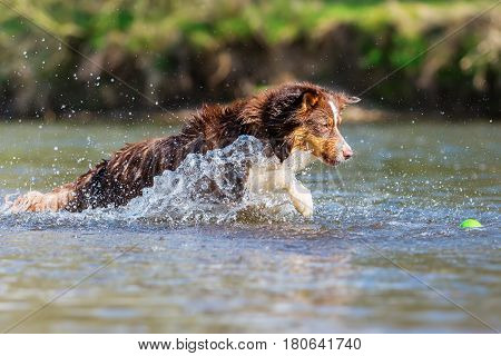 Australian Shepherd Dog Running In The Water