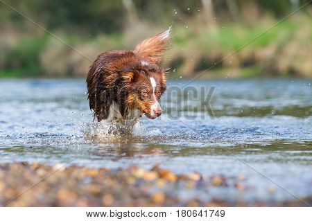 picture of an Australian Shepherd dog running in the water