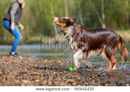 Australian Shepherd Shaking The Fur