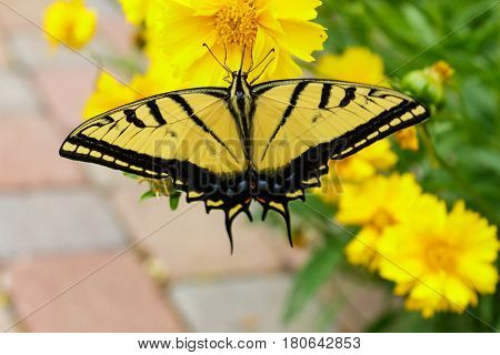 Beautiful swallowtail butterfly feeding on a coreopsis flower wtih its proboscis.