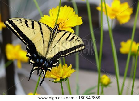 Stunning swallowtail butterfly feeding on a coreopsis flower wtih its proboscis.