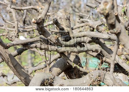 Twisty branches of a tree after pruning in early spring closeup in the garden