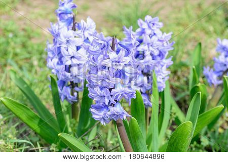 Blue hyacinths closeup of blossom in the garden