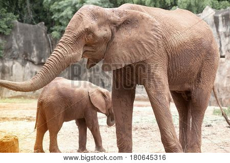 African mother and son elephant in Thailand zoo.Elephants are large mammals of the family Elephantidae and the order Proboscidea.