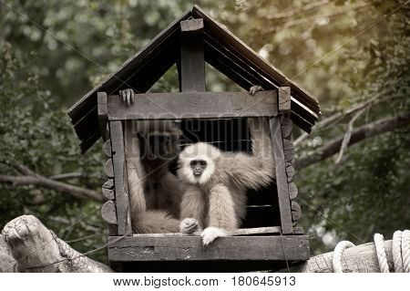 A white-handed gibbon (Hylobates lar) family sitting in our house on tree in Thailand zoo.