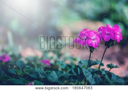 background nature Flower. Garden flowers. A bouquet of pink flowers. Thailand chiangmai doi-angkhang
