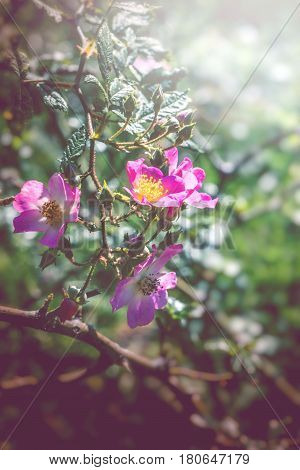 background nature Flower. Garden flowers. Pink roses.