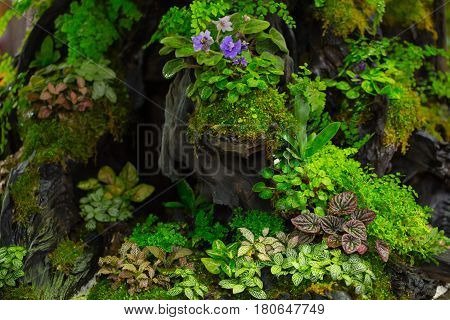 moss fern decorate on small wood garden. green nature plant in the forest.