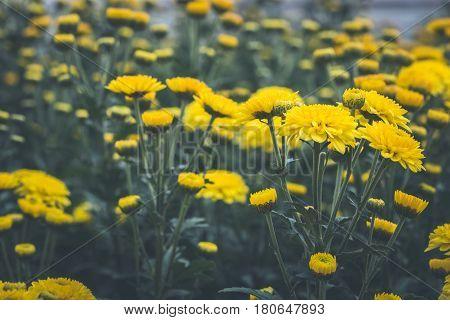 background Flower Chrysanthemum yellow. flower garden Full-frame