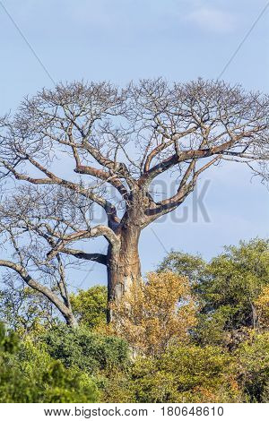 Baobab tree landscape in Kruger national park, South Africa ; Specie Adansonia digitata family of Malvaceae