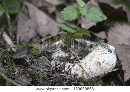 Milk-white brittlegill (Russula delica) mushroom close up shot