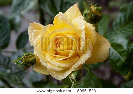 Closeup on a yellow rose with morning dew