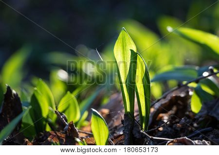 Detail Shot Of Allium Ursinum Known As Wild Garlic