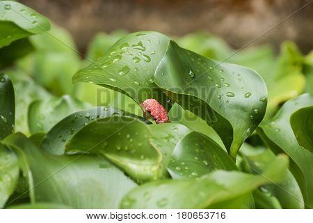 Closeup Eggs of Golden apple-snail or Pond snail on leaf