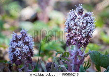 Close-up Shot Of Flowering Butterbur