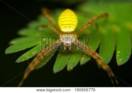 Argiope Aemula Is A Species Of Spider In The Family Araneidae, Found From India To The Philippines,