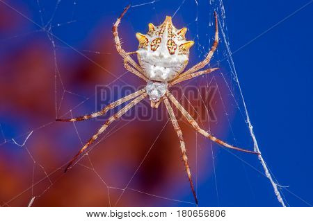Argiope Argentata Is A Species Of Spider In The Family Araneidae, Found From The United States South