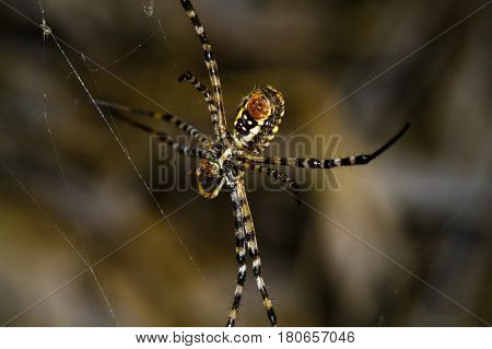 Argiope bruennichi is a species of orb-web spider distributed throughout central Europe, northern Europe, north Africa, parts of Asia, the Azores archipelago.