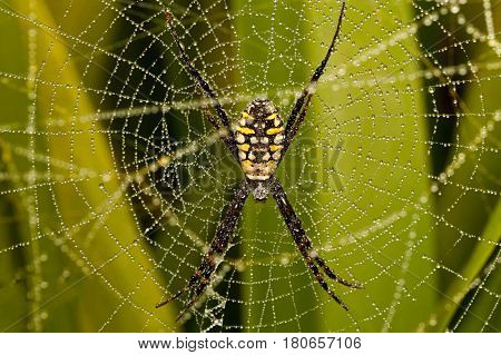 Argiope catenulata, also known as the grass cross spider, is a species of Orb-weaver spider. Like other species of the same genus, it builds a web with a zig-zag stabilimentum.