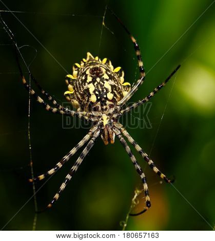Argiope lobata is a species of spider belonging to the family Araneidae. It has a wide distribution encompassing the whole of Africa and stretching to southern Europe and into Asia.
