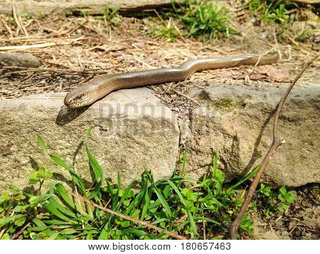 Close-up shot of Slow worm (Anguis fragilis) - limbless lizard native to Eurasia sometimes called blindworm. Czech Republic Europe.