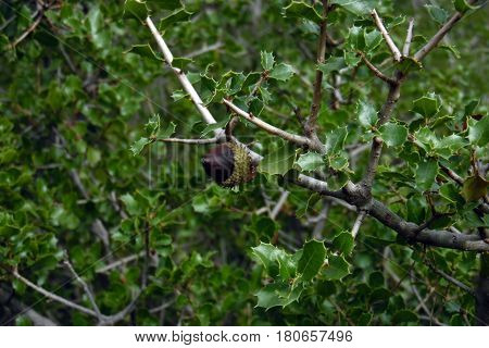 Acorn in holm oak forest in Utiel Spain. Green leafy tree with small leaves. Brown fruit from Quercus faginea in Valencia. Typical flora from mediterranean. Peaceful and natural place. Wild nature.Branch and spiky leaves in autumn.