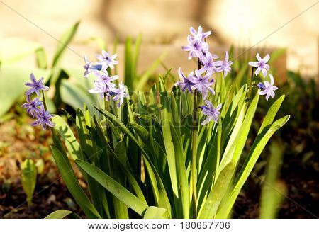 Violet hyacinths grow in the garden. Few violet hyacinths blooming in the garden.