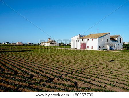 Big field with green plants in ValenciaSpain.Farm houses and orchard. Vegetables growing. Peaceful place under intense blue sky.White house in countryside.Tiger nuts grow in brown soil with furrows.