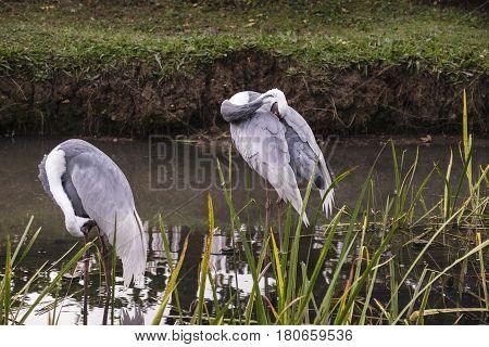 Natural Portrait Of White-naped Crane Bird From China