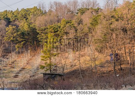 Landscape of a small evergreen tree in clearing surrounded by tall trees bathed in the evening sun