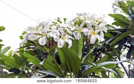 Frangipani or Plumeria flower captured on bright sunny morning in spring season